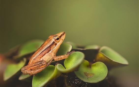 배경 화면 개구리, 식물의 잎