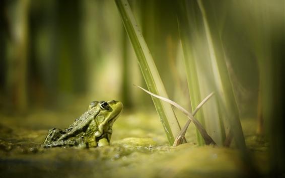 배경 화면 개구리, 물, 잔디