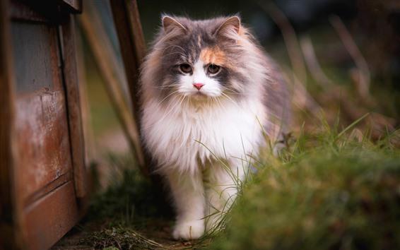Papéis de Parede Vista frontal de gato peludo, grama, nebuloso