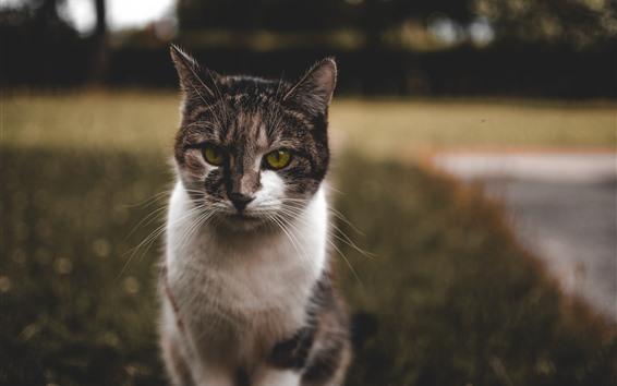 Papéis de Parede Vista frontal do gato peludo, olhos verdes, fundo desfocado