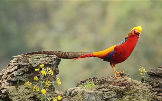 Wallpaper Golden pheasant, wildlife