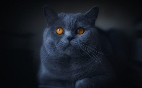 Обои Серый кот, оранжевые глаза, темнота