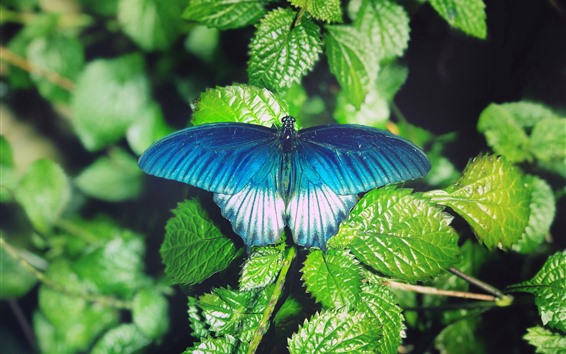 Wallpaper Green leaves, blue butterfly
