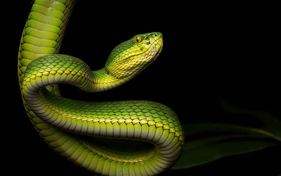 Wallpaper Green snake, bend, black background