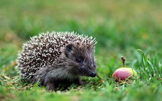 Wallpaper Hedgehog, apple, grass