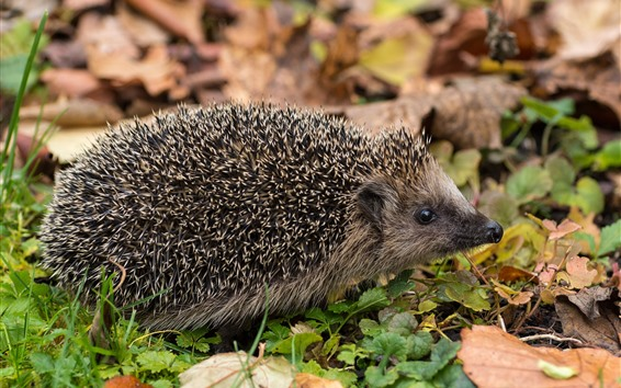 Wallpaper Hedgehog, many needles, ground, leaves