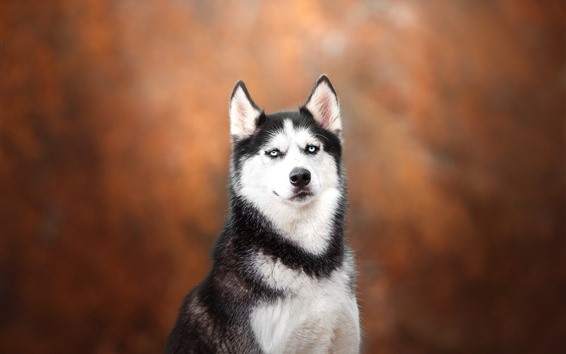 Wallpaper Husky dog, look, orange background