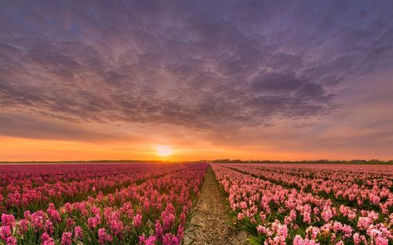 Wallpaper Hyacinth, pink flowers, fields, sunset