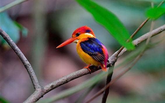 Papéis de Parede Martim-pescador, penas coloridas