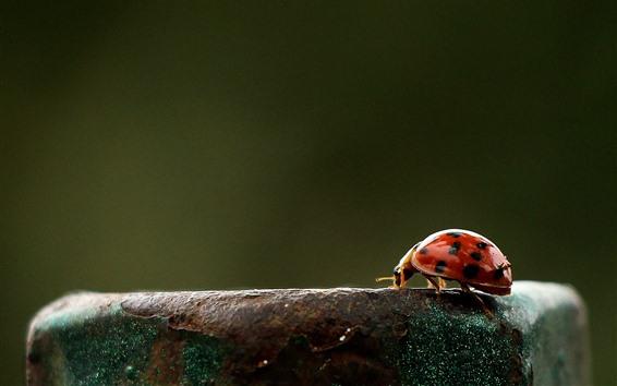 Wallpaper Ladybug, rusty iron