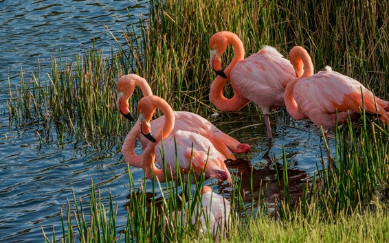Wallpaper Lake, flamingo, birds, wildlife, grass