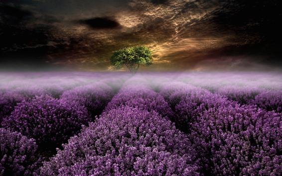 Papéis de Parede Flores de lavanda, árvore, nevoeiro, nuvens, manhã