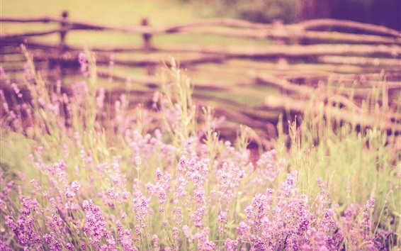 Обои Лаванда, розовые цветы, туманные, лето