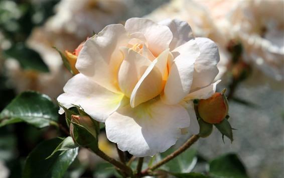 Wallpaper Light pink rose close-up, flower buds