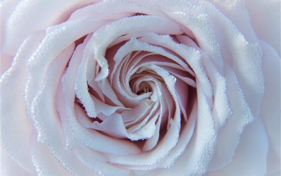 Fond d'écran Rose rose clair, nombreuses gouttelettes d'eau