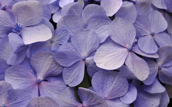 Wallpaper Light purple hydrangea, many flowers