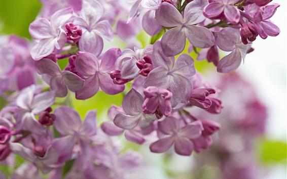 Fondos de pantalla Lila, flores de primavera.