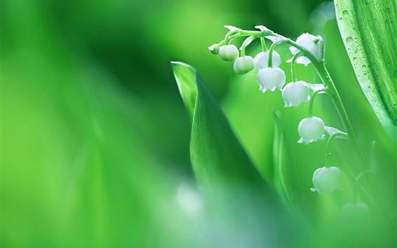 Wallpaper Lily of the valley, white flowers, hazy