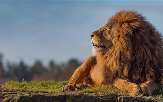 Wallpaper Lion, close eyes