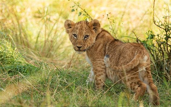 Papéis de Parede Filhote de leão, olhar para trás, grama