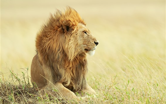 Wallpaper Lion, grass, wind