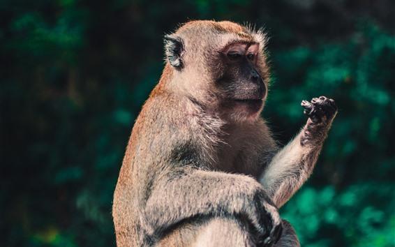 Papéis de Parede Macaco Macaca