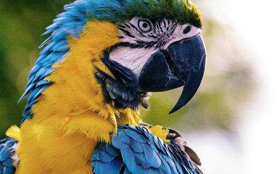 Wallpaper Macaw, parrot, blue feather