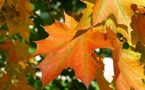 Fond d'écran Feuilles d'érable, automne, lumière du soleil