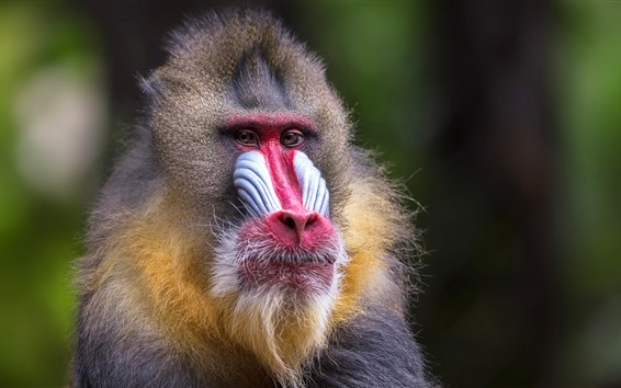 Papéis de Parede Macaco, vista frontal, mamífero