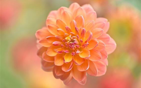 Wallpaper Orange dahlia, flower close-up, blurry background