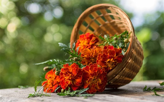 Обои Оранжевые цветы, бархатцы, корзина