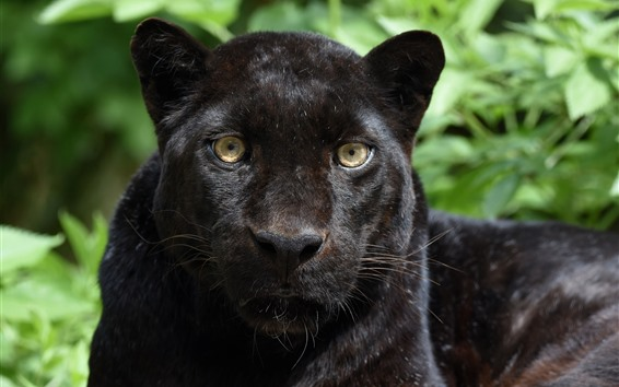 Wallpaper Panther, black leopard, face, front view