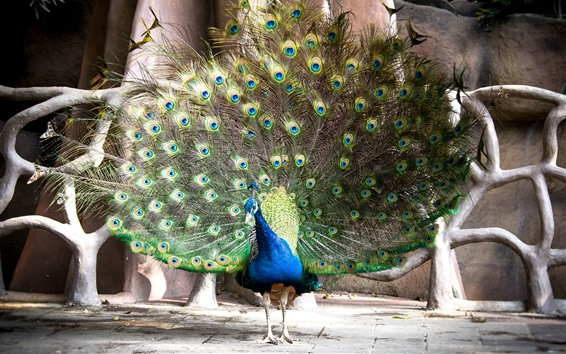 Wallpaper Peacock, tail, green feathers