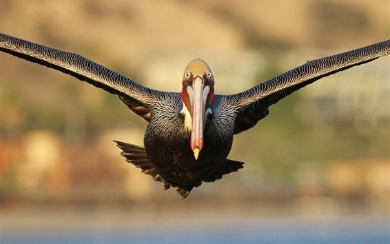 Обои Полет Пеликан, крылья, птица