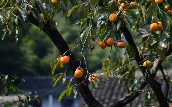 Wallpaper Persimmon tree, fruit