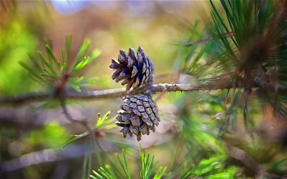 Обои Сосновое дерево, орехи, иглы