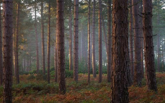 Wallpaper Pine trees, forest, fog