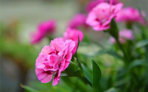 배경 화면 핑크 꽃, 카네이션, 흐릿한 배경