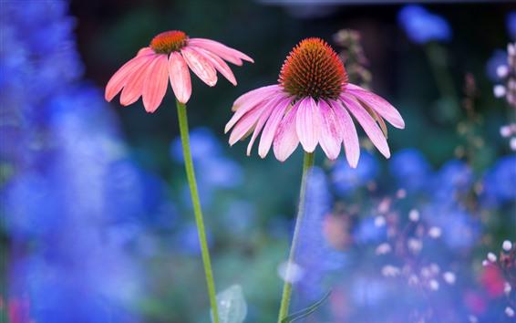배경 화면 핑크 꽃, 에키 네시아, 줄기
