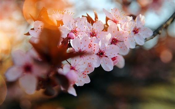 Papéis de Parede Flores cor de rosa, sakura, pétalas, galhos, primavera