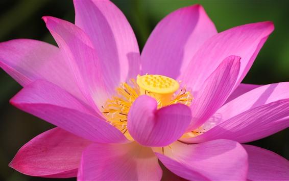 Fond d'écran Lotus rose, gros plan, fleur, pétales, lumière soleil
