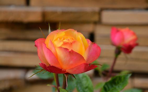 壁紙 ピンクのオレンジ色の花びらのバラ