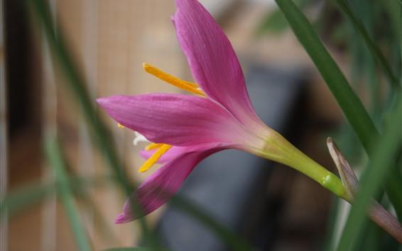 배경 화면 분홍색 난초 근접, 꽃잎, 잎