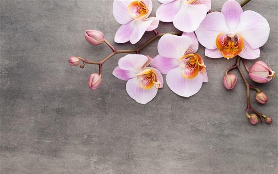 壁紙 ピンクの胡蝶蘭、花のクローズアップ