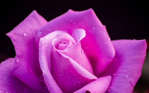 Wallpaper Pink rose macro photography, petals, water droplets, black background
