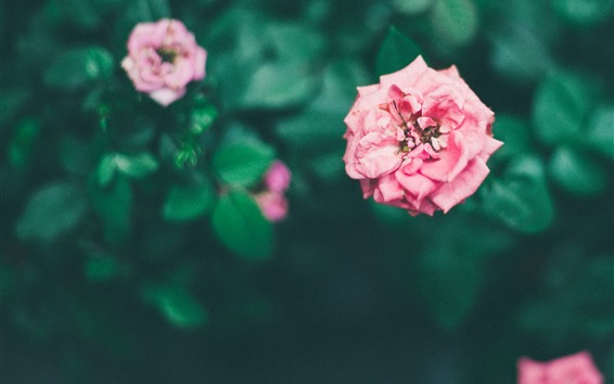 Papéis de Parede Rosas cor de rosa, flores no jardim, nebulosas