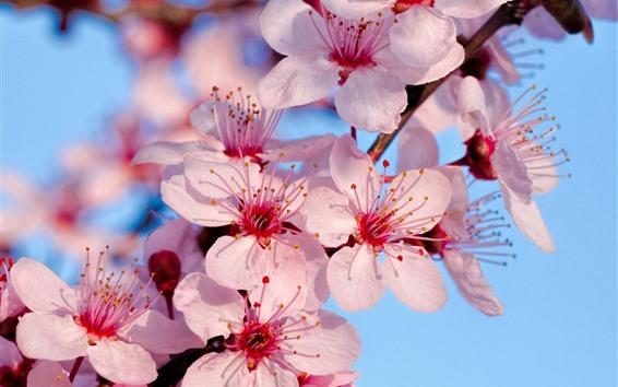 Papéis de Parede Flor de sakura rosa, Primavera, galhos