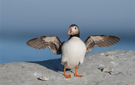 Papéis de Parede Puffin asas abertas, pássaro