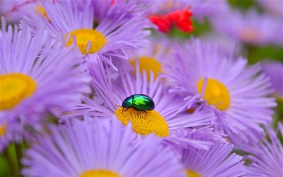 배경 화면 자주색 애 스 터 꽃, 딱정벌레