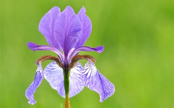 Papéis de Parede Flor roxa close-up, íris, pétalas